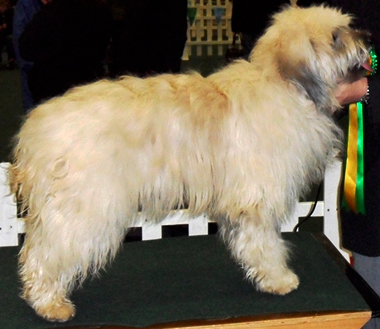 Catalan Sheepdog Starwell Dream Girl owned by Dr Fiona Humphries