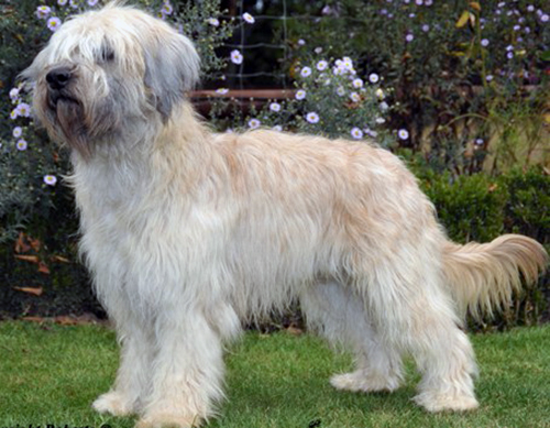 Adonis - catalan sheepdog from Starwell Kennels